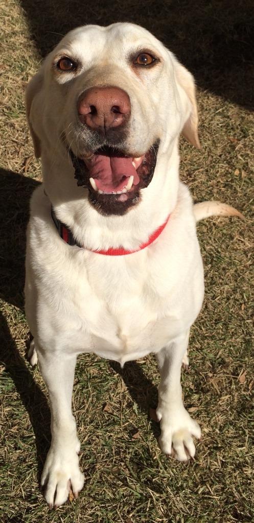 Lone Star Labrador Retriever Rescue Available Dogs
